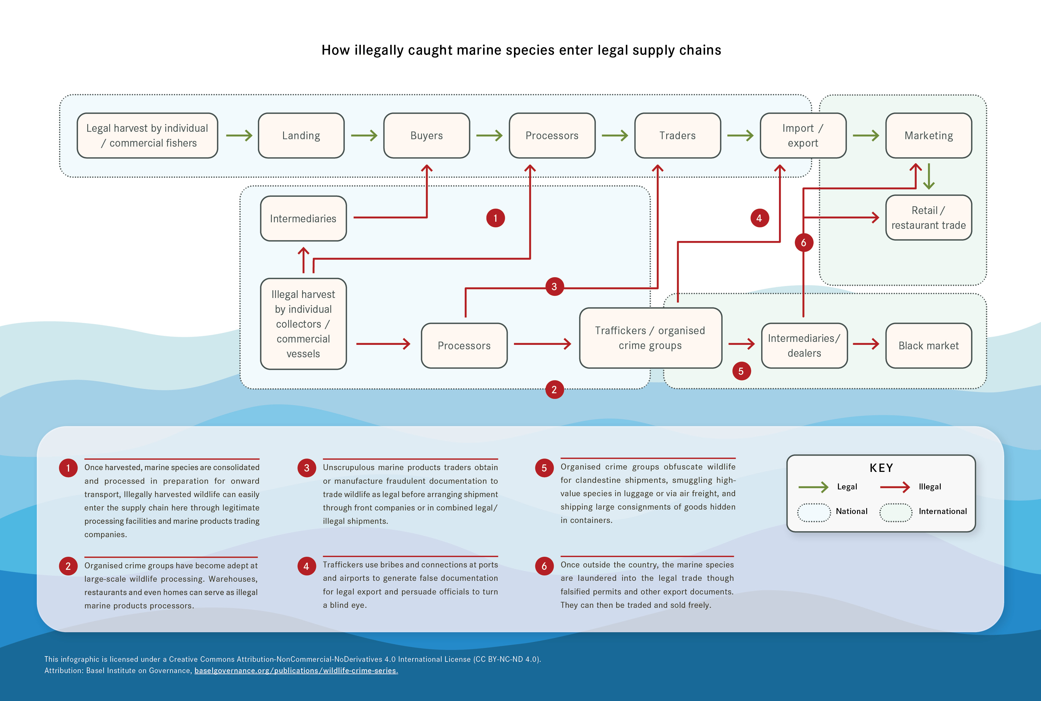 An infographic displaying how illegal caught marine species enter legal supply chains
